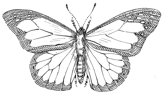 Butterfly Outline Animals Bugs