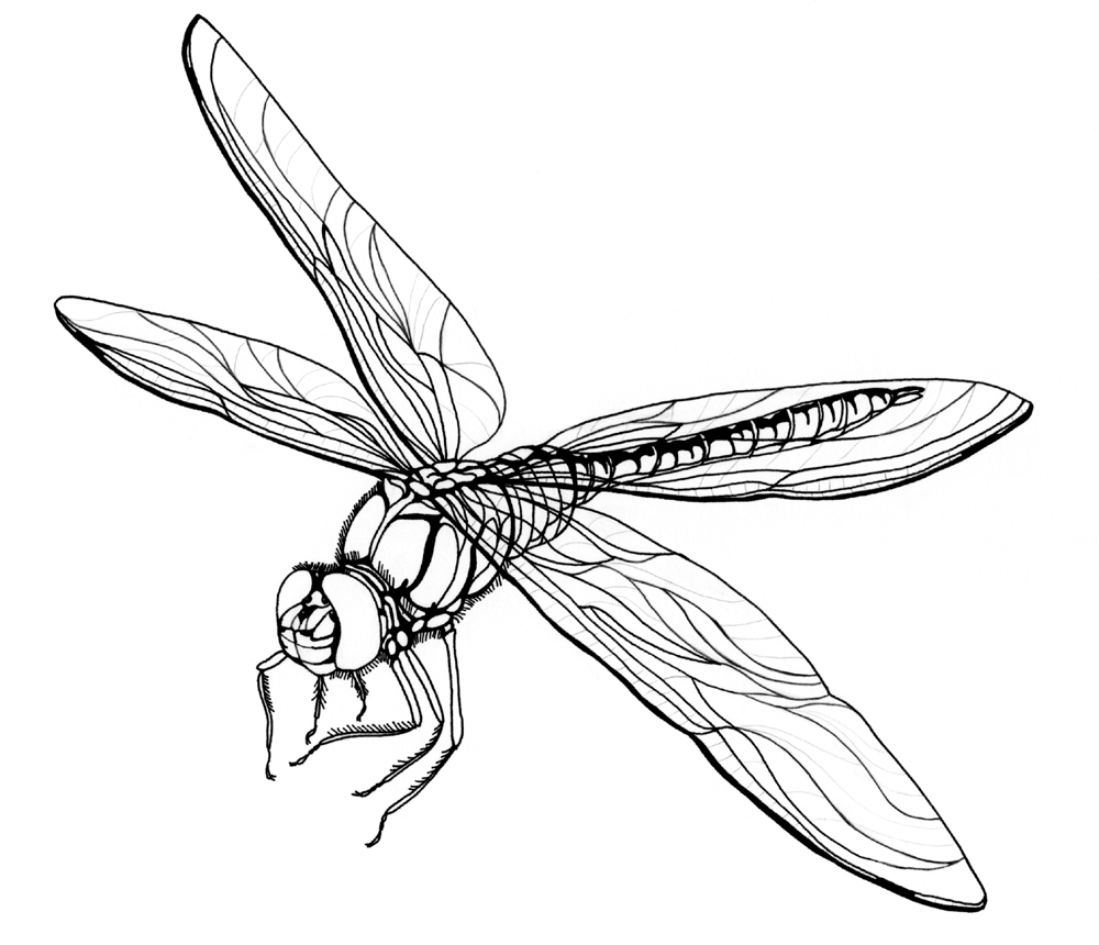dragonfly outline   clipartion