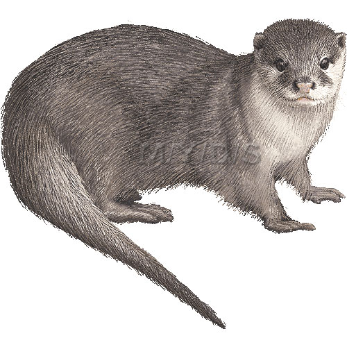 Oriental Small Clawed Otter Asian Small Clawed Otter Clipart