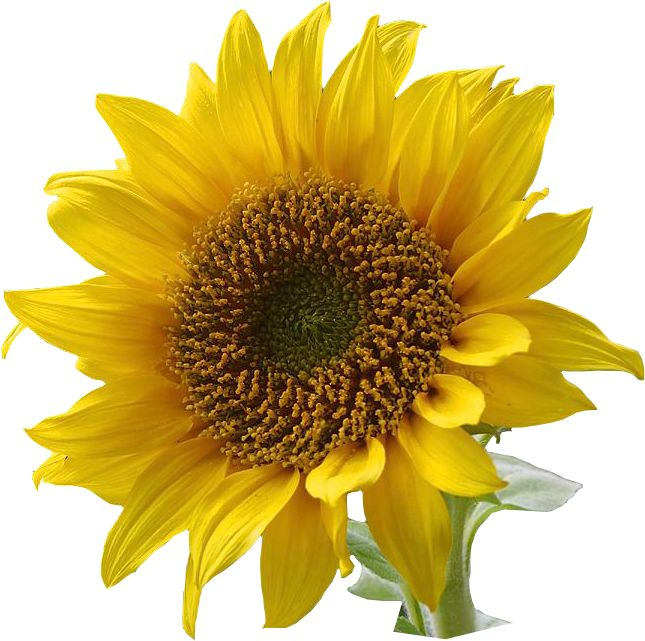 Sunflower Stuff My Obsesion On Pinterest Sunflowers Sunflower