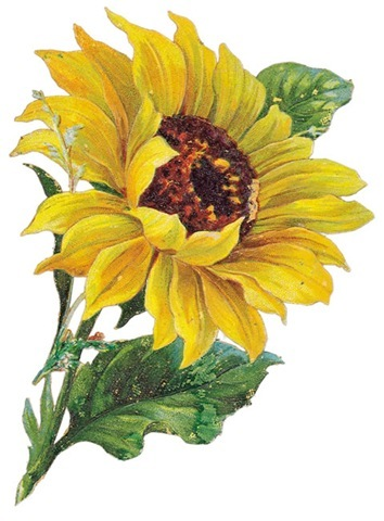 Vintage Sunflower Clip Art Images Amp Pictures Nearpics