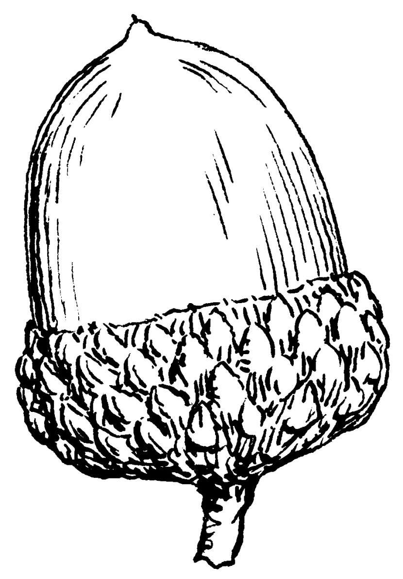 Acorn Bw Plants Seeds Nuts Acorn