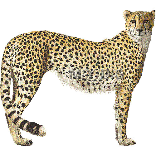 Best Cheetah Clipart #15028 - Clipartion.com