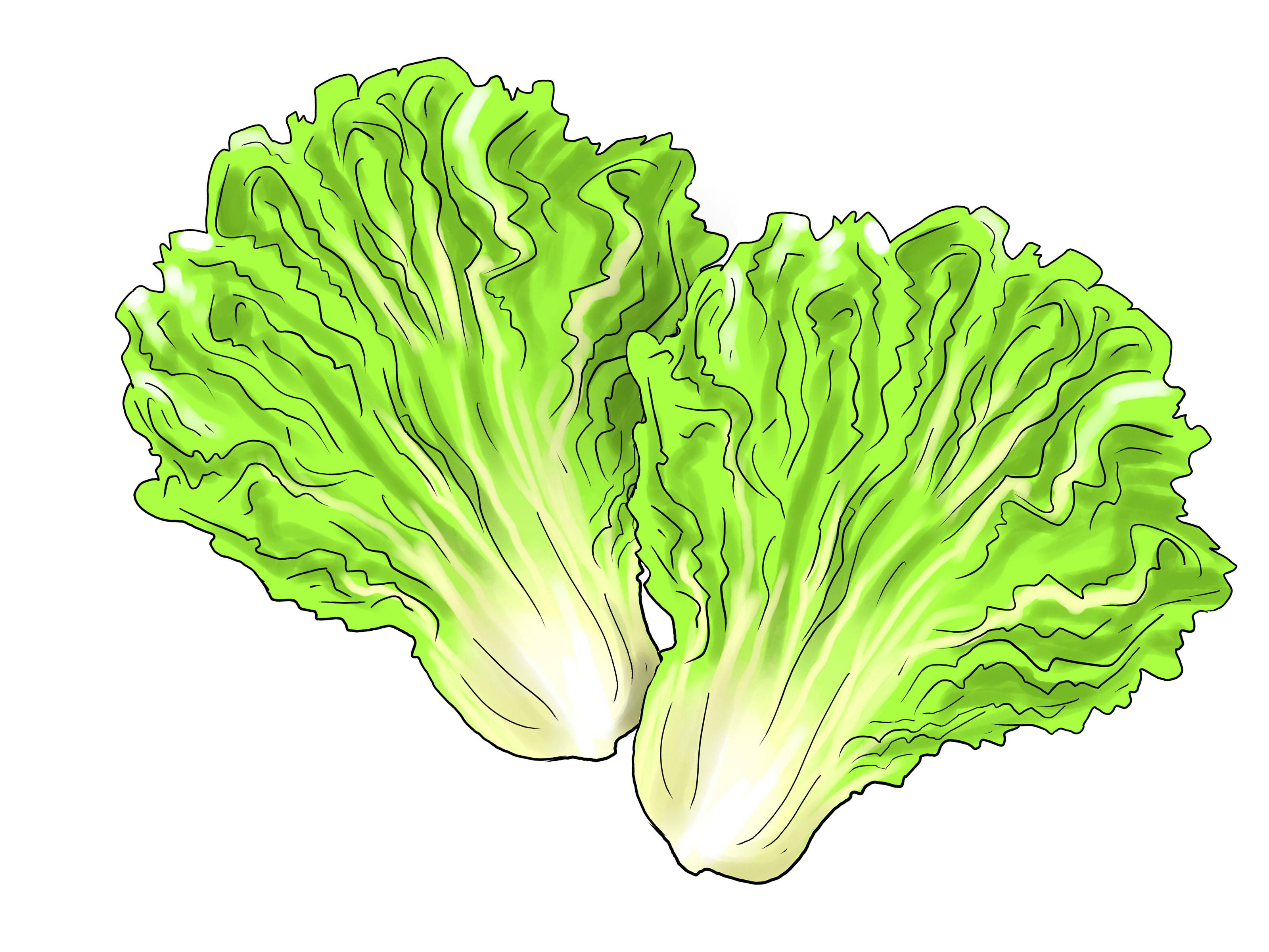 best lettuce clipart 17476 clipartioncom