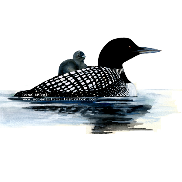 Common Loon Tattoo Images Amp Pictures Findpik