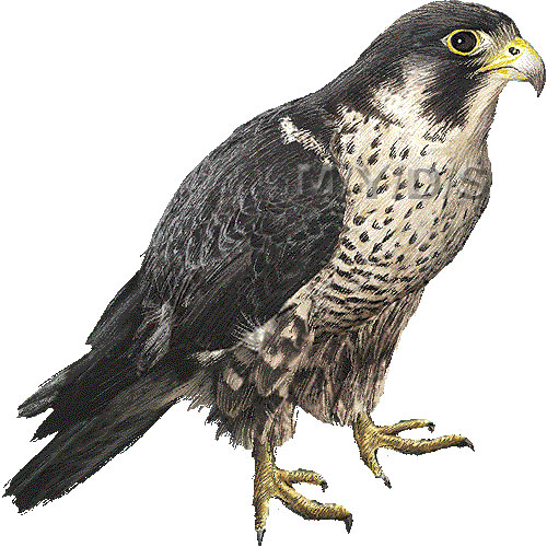 Falcon Clipart Archives Clipart Pictures