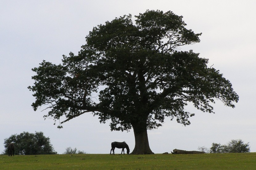 File Backley Holmes Oak Silhouette New Forest Wikimedia Commons
