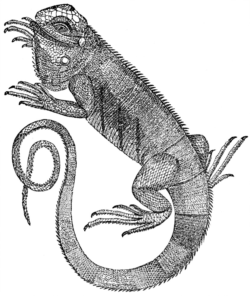 Free Iguana Clip Art The Graphics Fairy