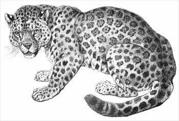 Free Jaguars Clipart Free Clipart Graphics Images And Photos