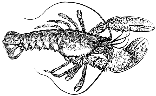Free Lobster Clipart 1 Page Of Public Domain Clip Art