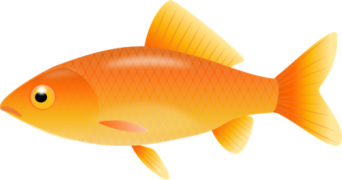 Gold Fish Goldfish Clipart Free Clip Art Images