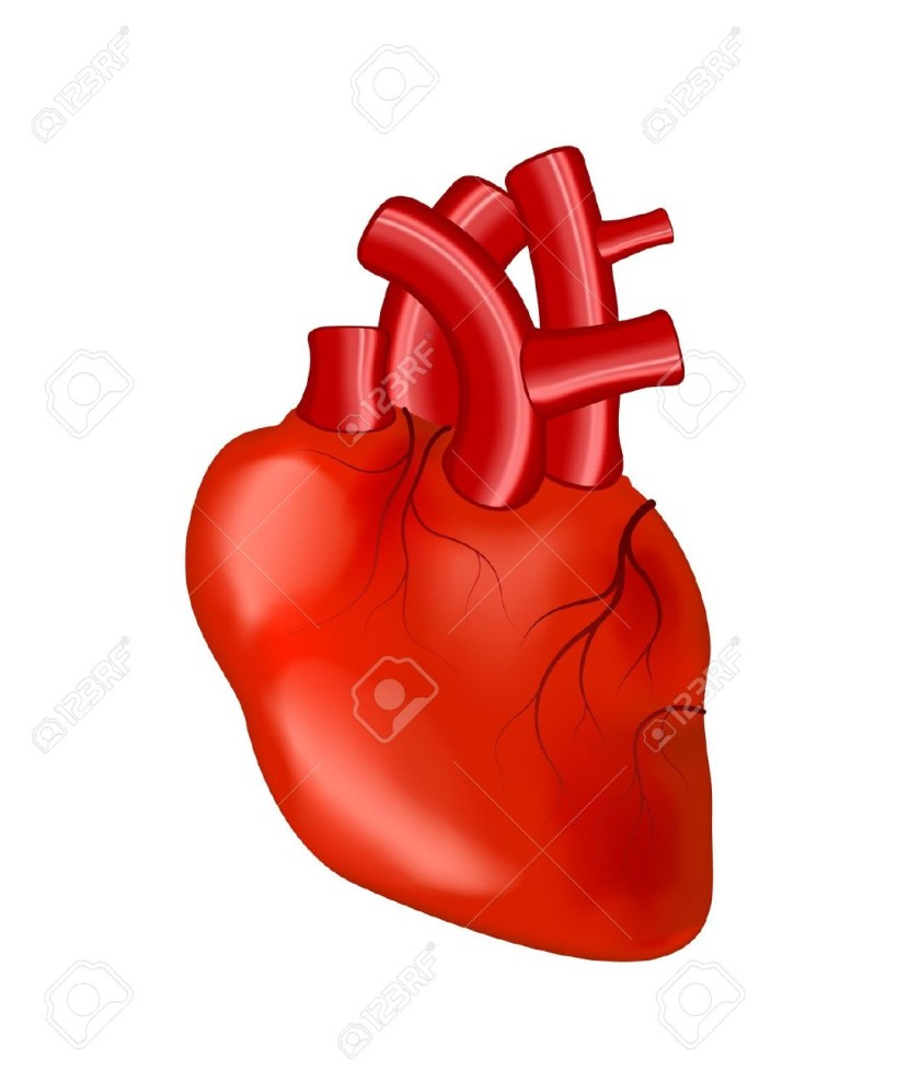 Human Heart Anatomy Cliparts Stock Vector And Royalty Free Human