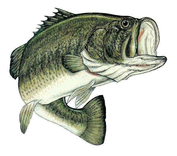 Largemouth Bass Drawing Outline Largemouth Bass Superior Trout