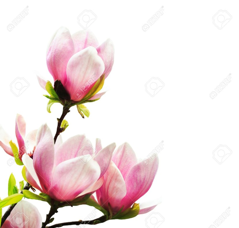 Leaf Magnolia Images Stock Pictures Royalty Free Leaf Magnolia