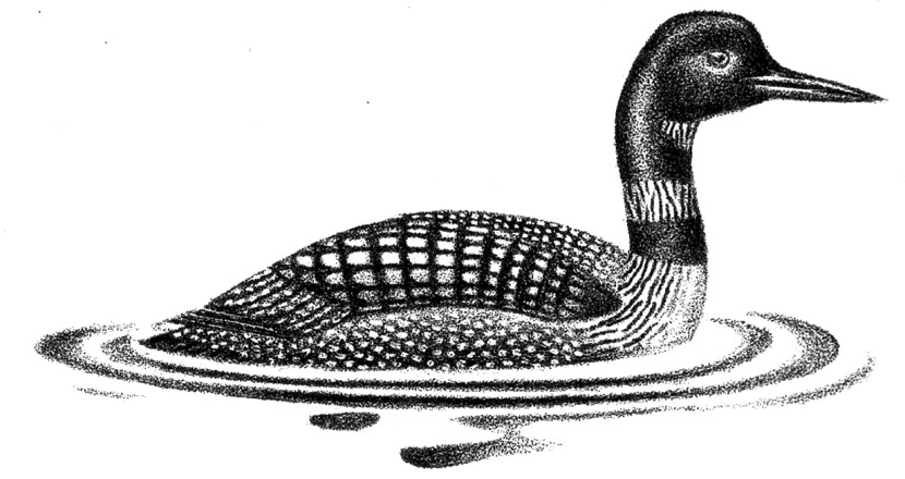 Loon Clip Art Images Amp Pictures Findpik