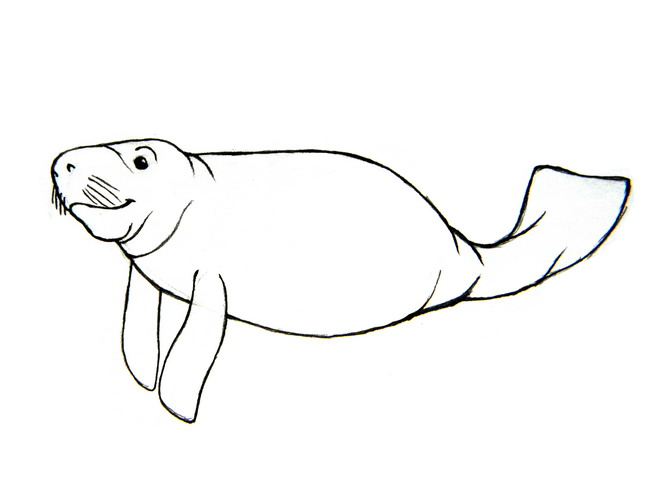 Manatee Drawings Clipart Free Clipart