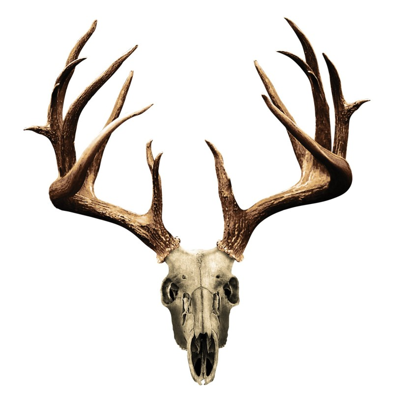Pictures Of Deer Skulls