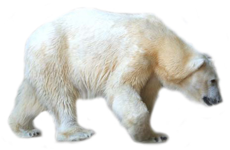 Polar Bear Clipart 5 Best Clip Art Blog