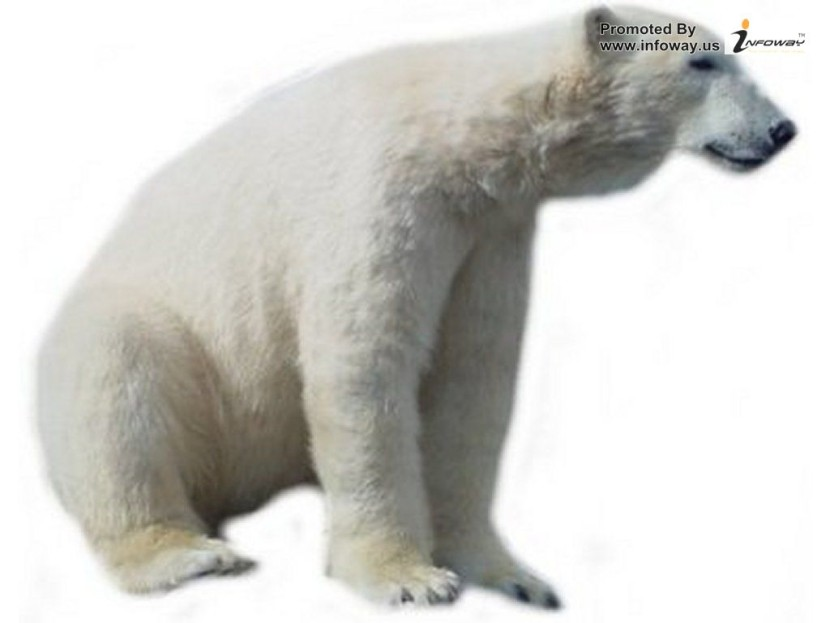 Polar Bear Picture Photo Of Phombo Com