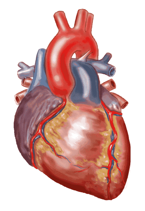 Real Heart Drawing