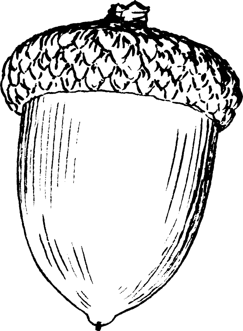 Acorn clipart for Acorn coloring page