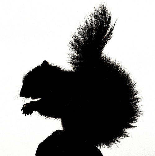 Sitting Squirrel Silhouette Flickr Photo Sharing