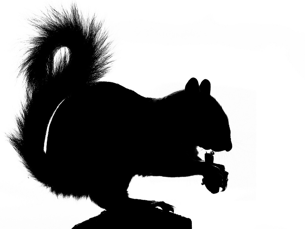 Standing Scoffing Squirrel Silhouette 3 Flickr Photo Sharing