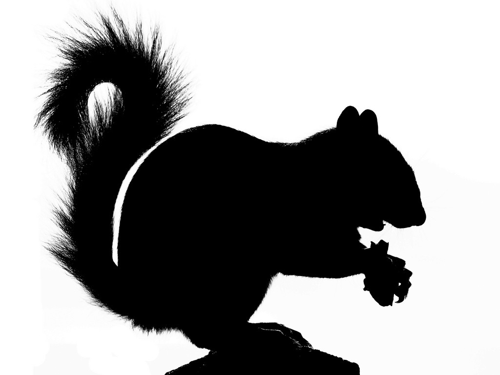 Standing Scoffing Squirrel Silhouette Flickr Photo Sharing