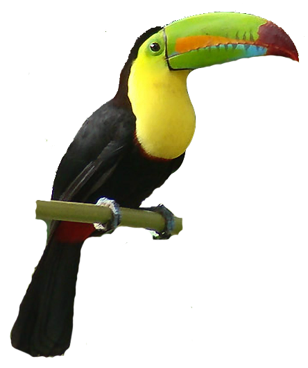 best toucan clipart 19689 clipartion com toucan clipart images toucan clipart free