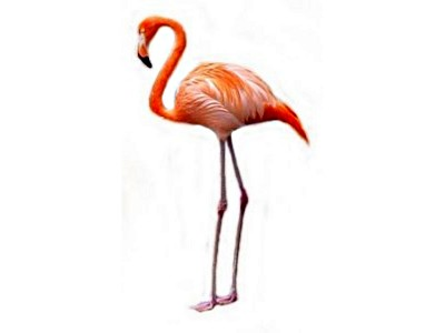 Tropical Flamingo Pictures Clip Art Pink Flamingo Pictures Of