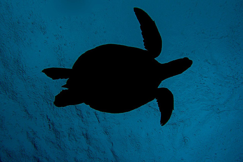 Turtle Silhouette Against A Rainy Surface Flickr Photo Sharing