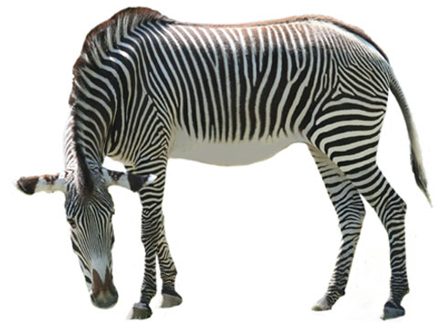 Zebra black and white clipart zebra clipart clipartion for Stuhl zebra design