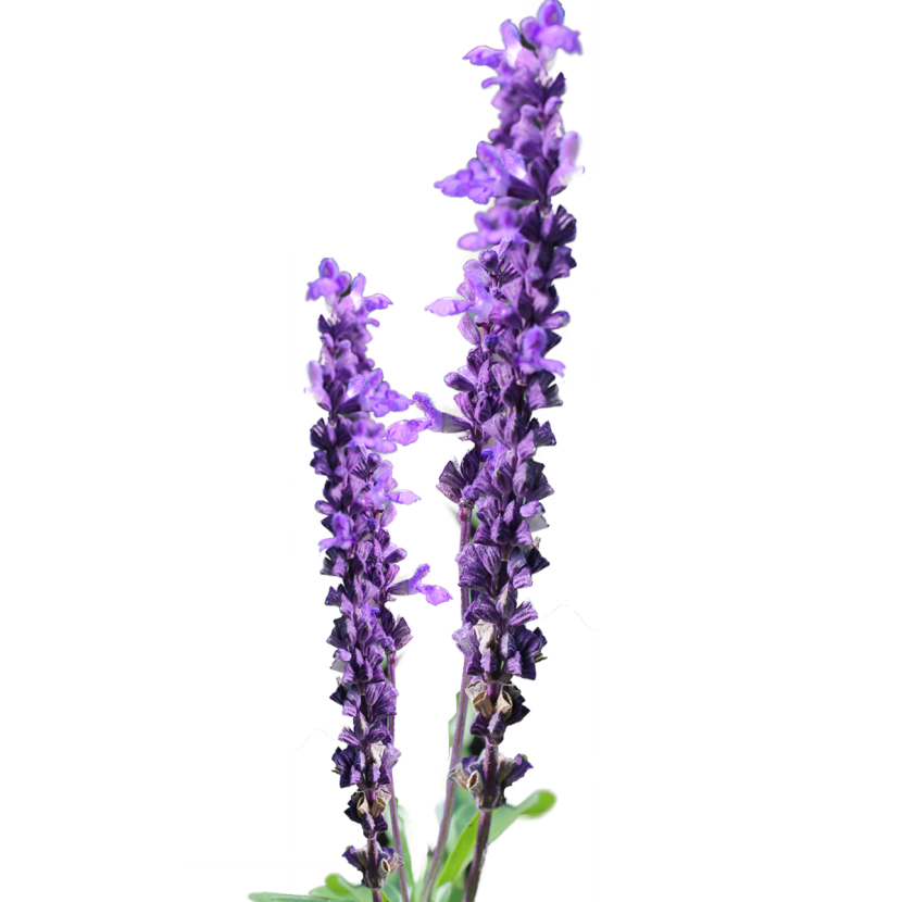 best lavender clipart   clipartion, Beautiful flower
