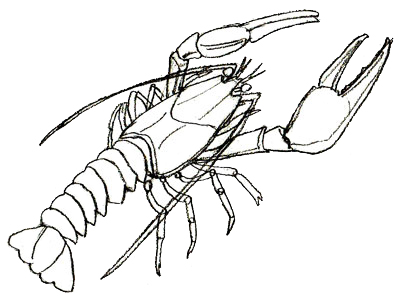 Lobster Outline