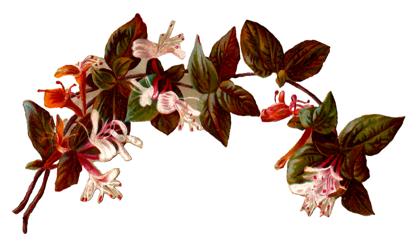 Antique Images Vintage Digital Illustration Of Flower Honeysuckle